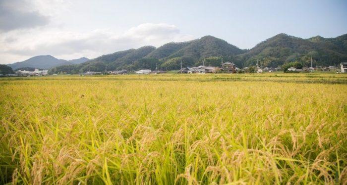 Fields of harvest-ready rice in Sasayama.